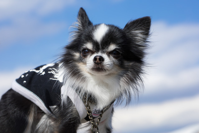 ダンディ顔のチワワ(犬)の写真