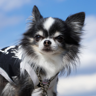 「ダンディ顔のチワワ(犬)」の写真素材
