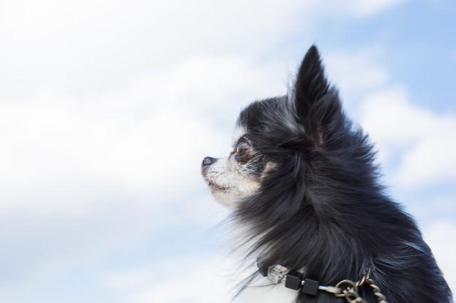 空を見上げるチワワ(犬)の写真