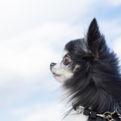 「空を見上げるチワワ(犬)」の写真素材