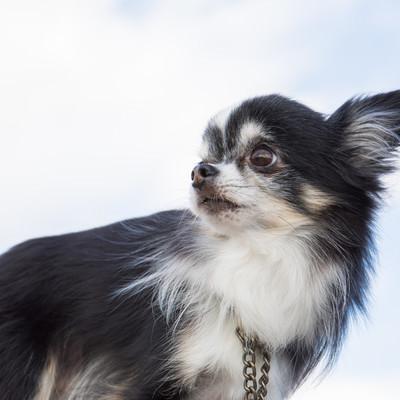 「振り返る犬」の写真素材