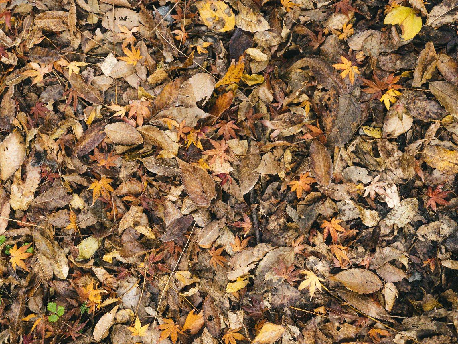 「落葉に混じる紅葉(テクスチャ)」の写真