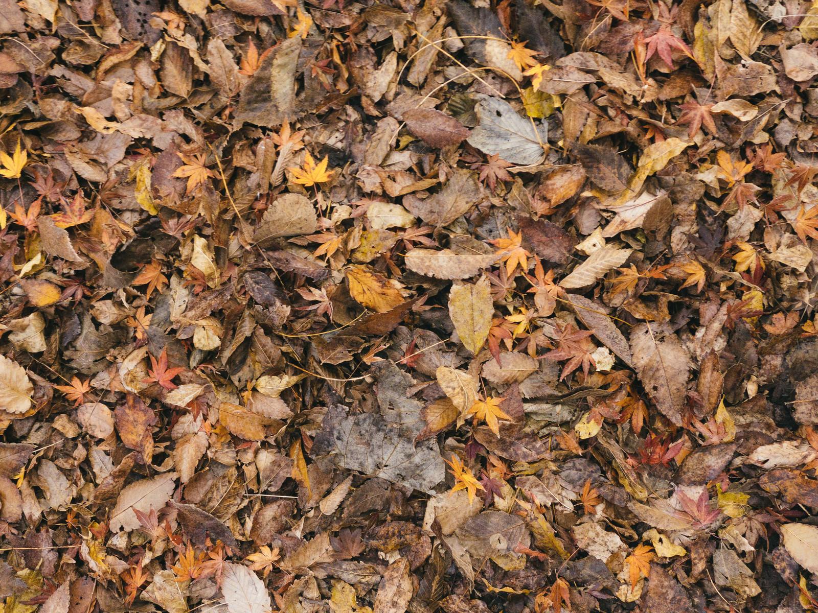 「足元の落葉と枯れ葉」の写真