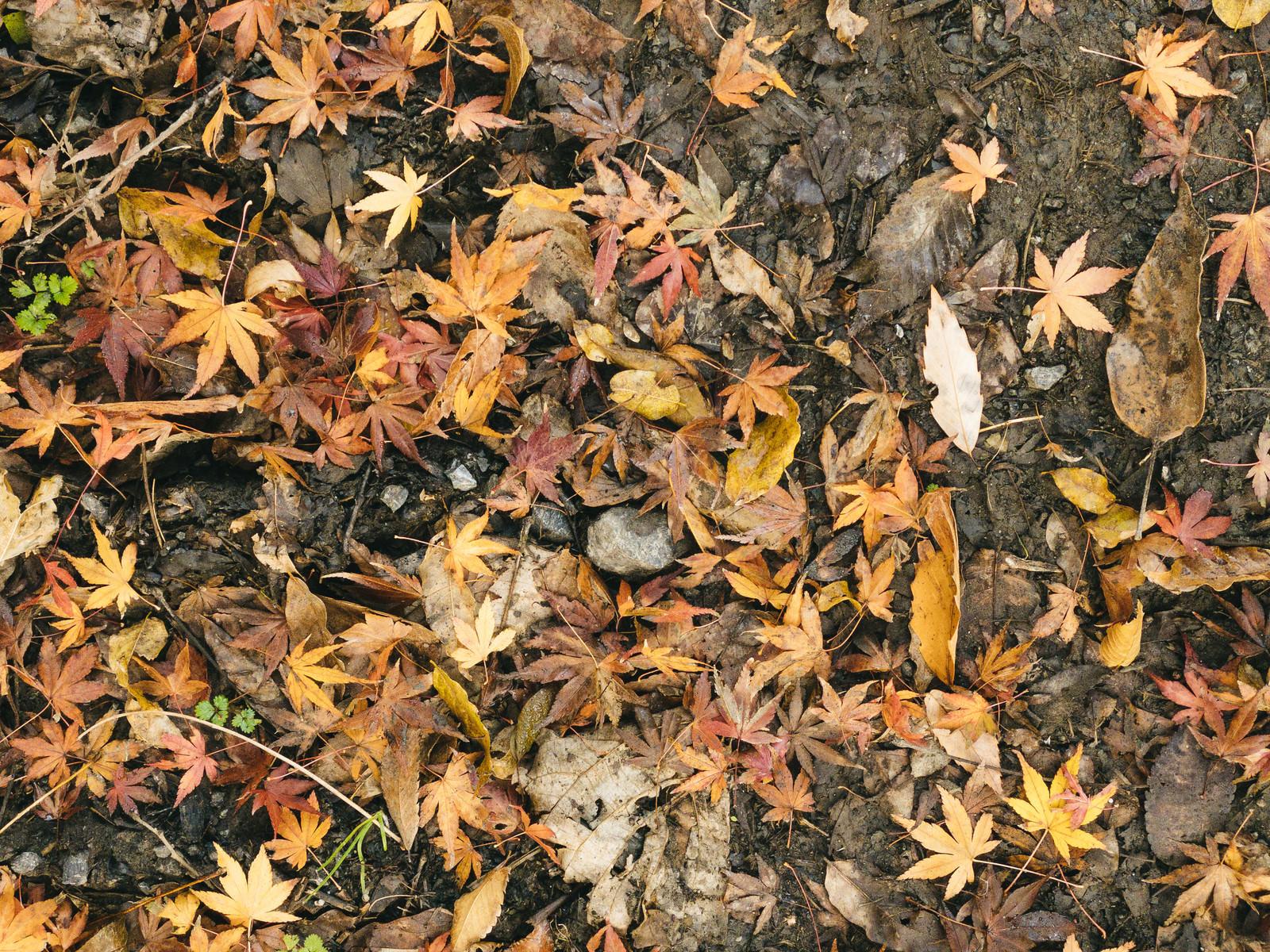 「落ち葉の中に混じる紅葉(テクスチャ)」の写真