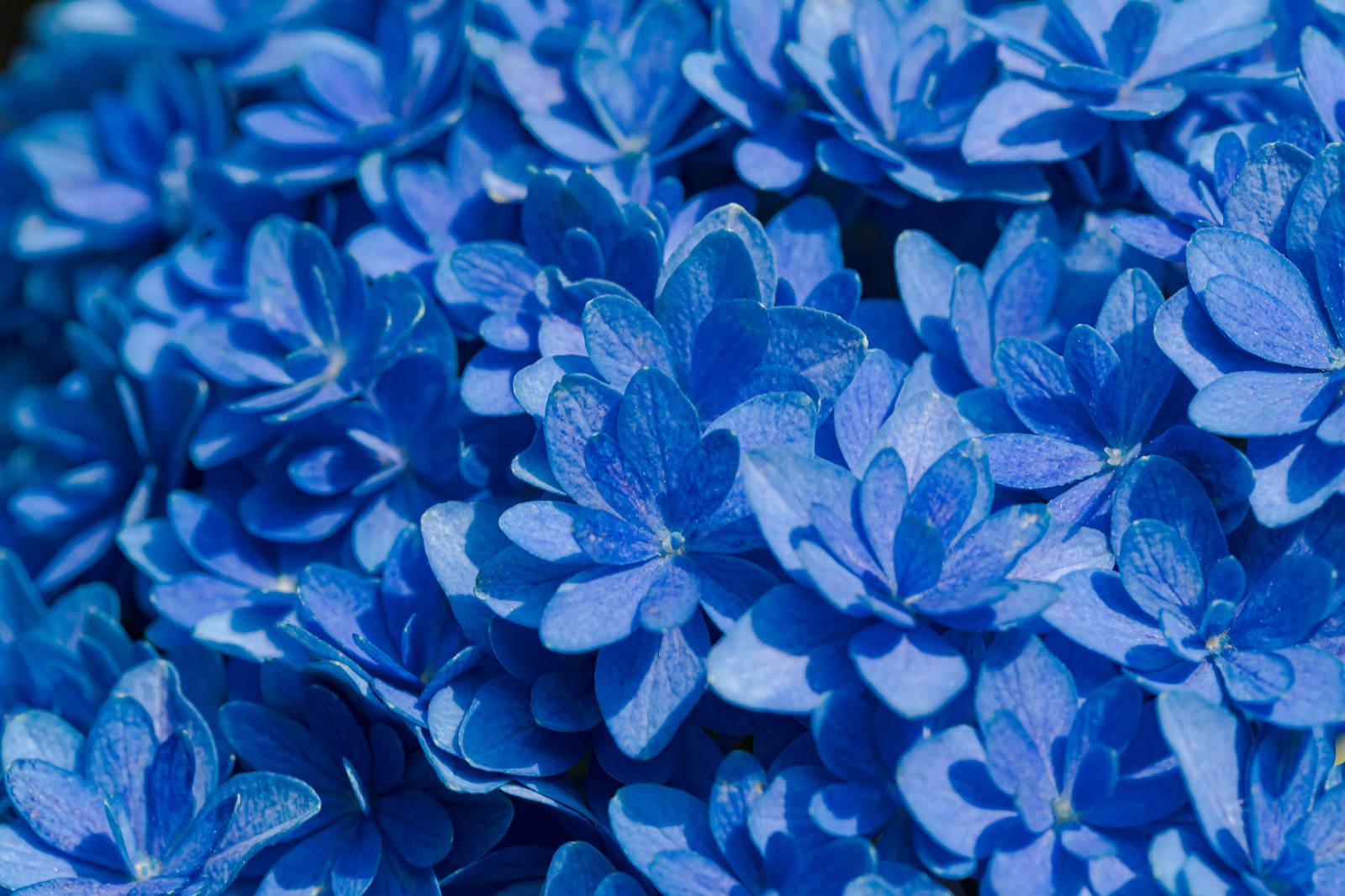 「青く咲く紫陽花の花」の写真