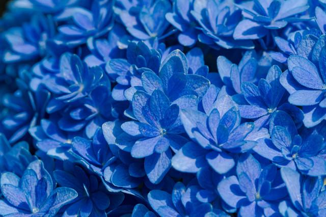 青く咲く紫陽花の花の写真