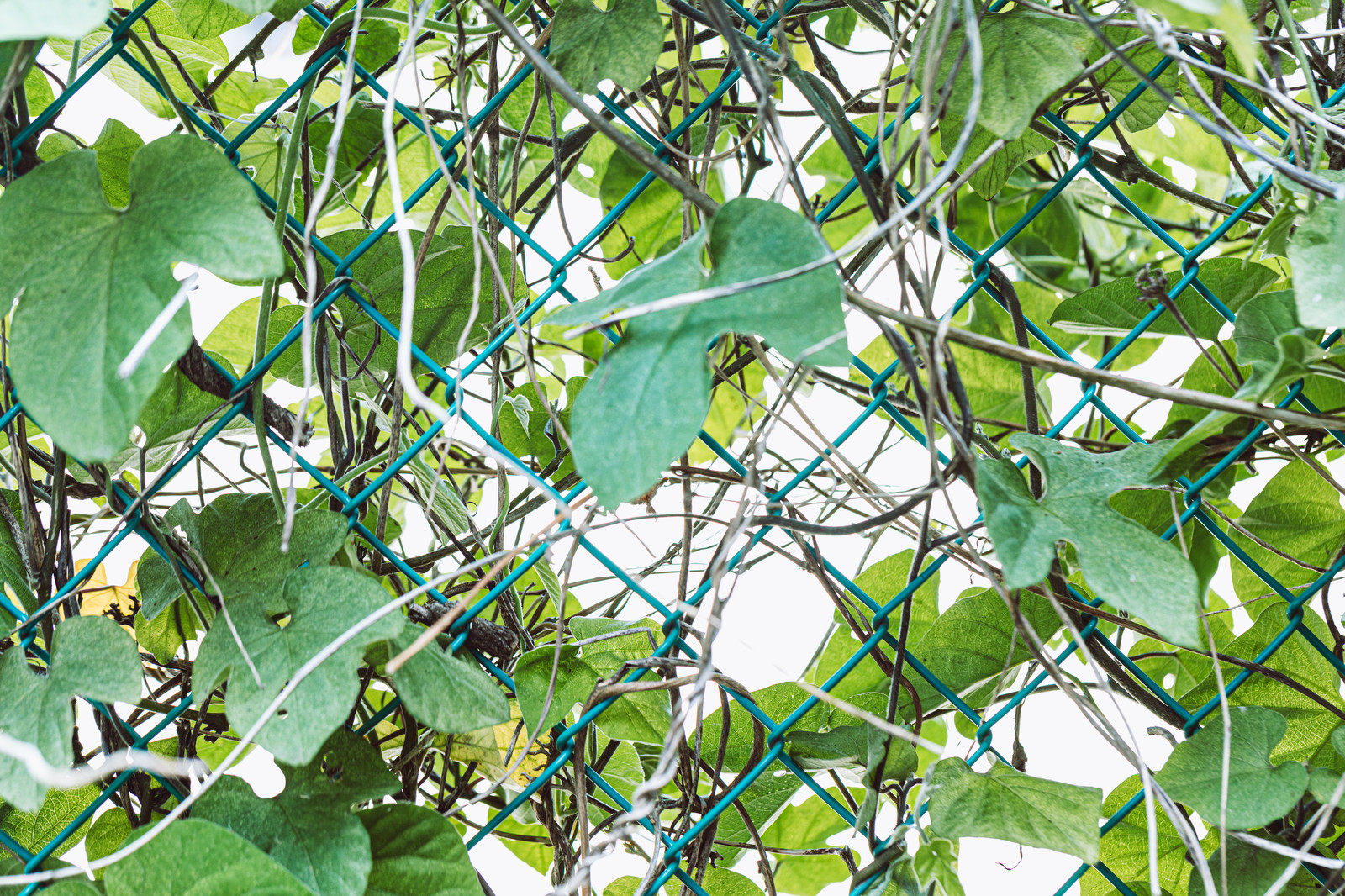 「フェンスに巻き付くツタ類」の写真
