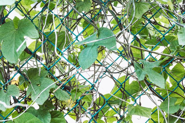 フェンスに巻き付くツタ類の写真