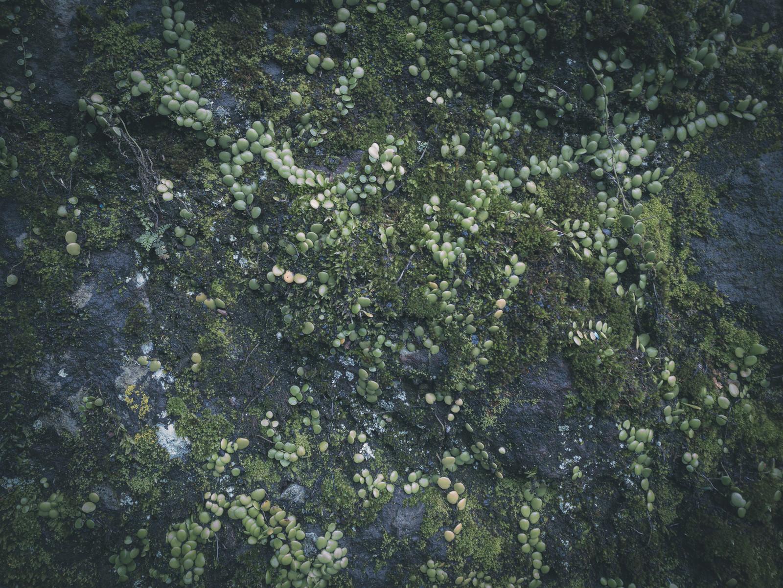 「石壁に繁殖する苔(テクスチャ)」の写真