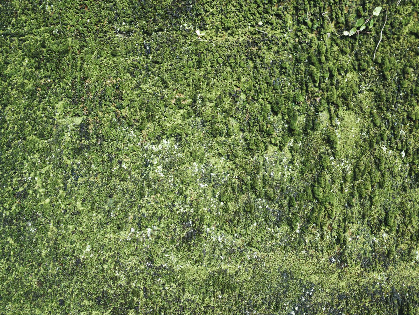 「壁一面の苔(テクスチャ)」の写真