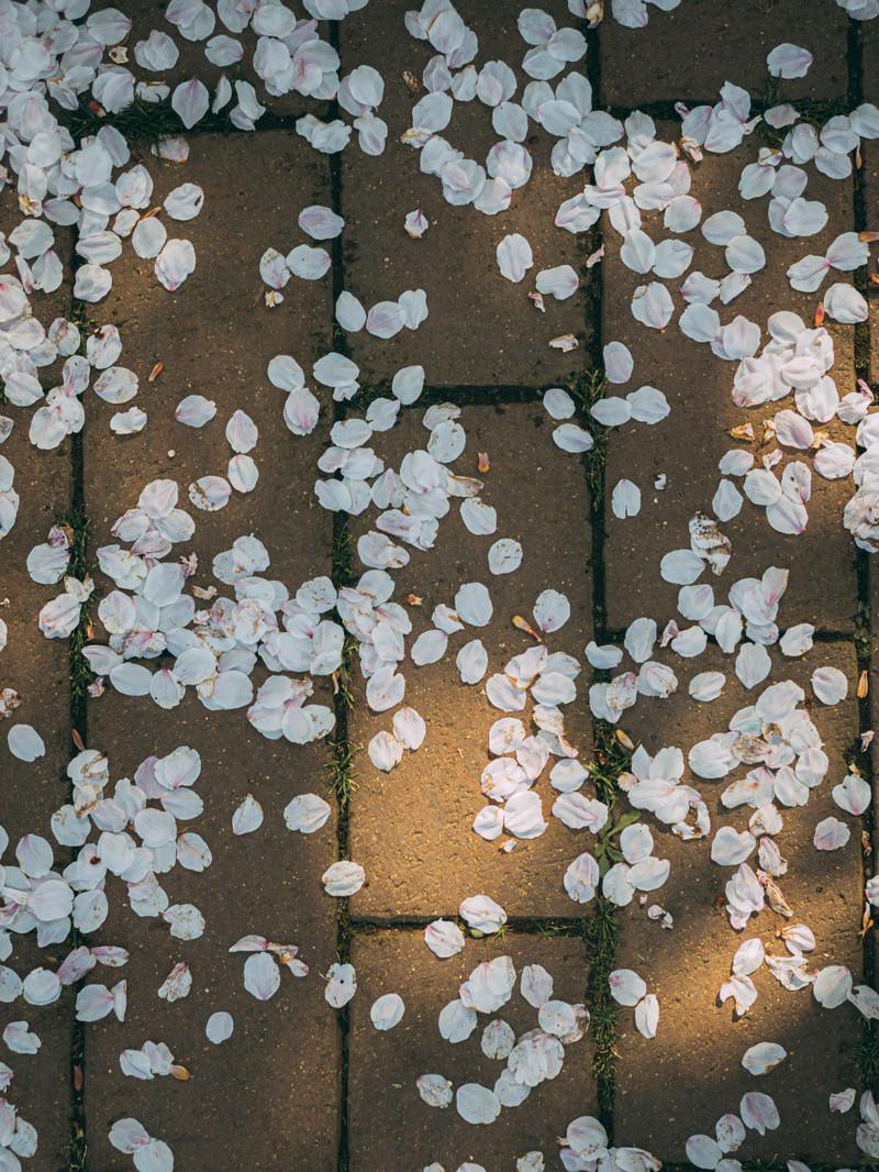 「桜の花びらと木漏れ日レンガ」の写真