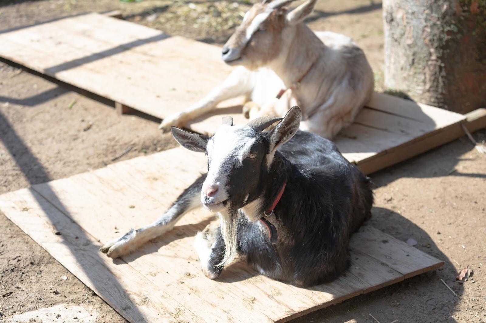 「日向ぼっこ中の山羊2頭」の写真