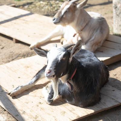 日向ぼっこ中の山羊2頭の写真