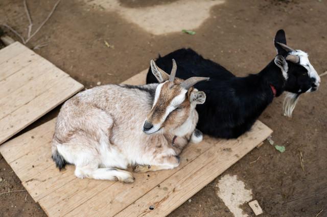崎野自然公園のヤギ二頭(さき・のん)の写真
