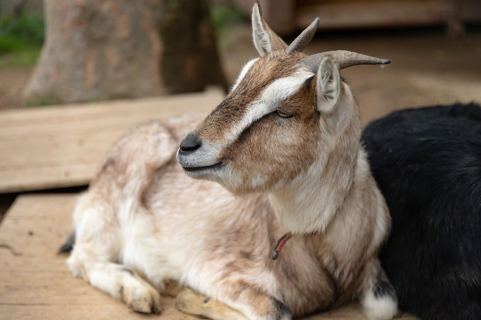 「のほほん山羊」の写真