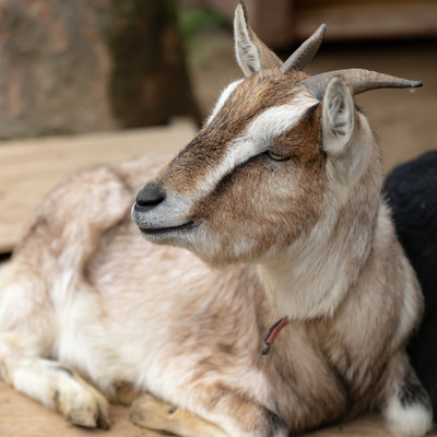 のほほん山羊の写真