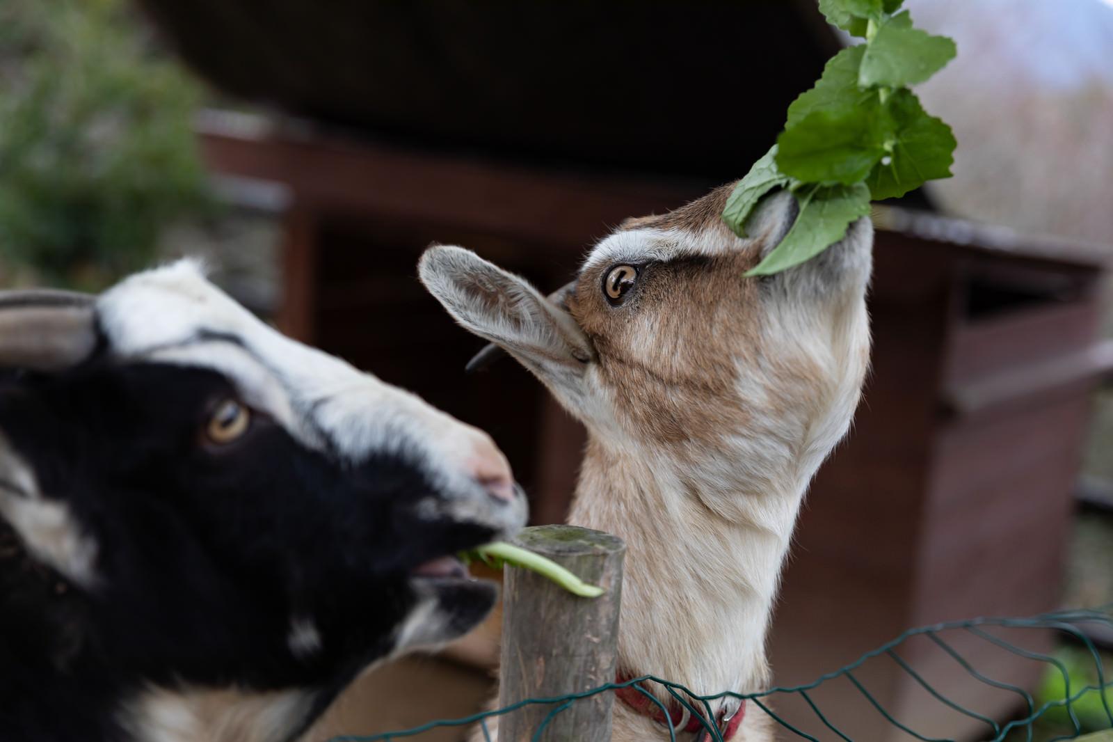 「柵越しに餌を食べる山羊」の写真