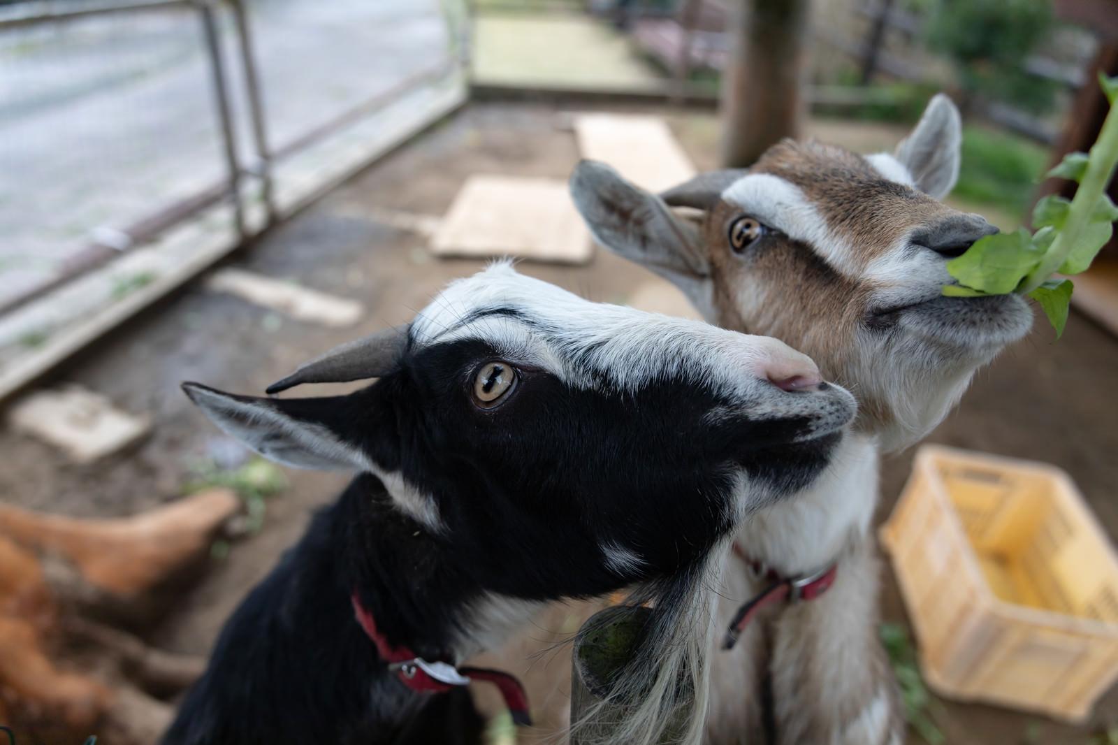 「無心で餌を食べるヤギ二頭」の写真