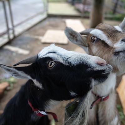 無心で餌を食べるヤギ二頭の写真