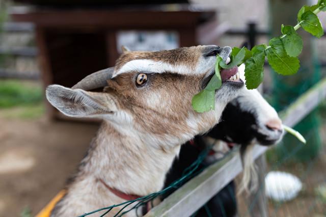 餌をむしゃむしゃ食べる山羊さんの写真