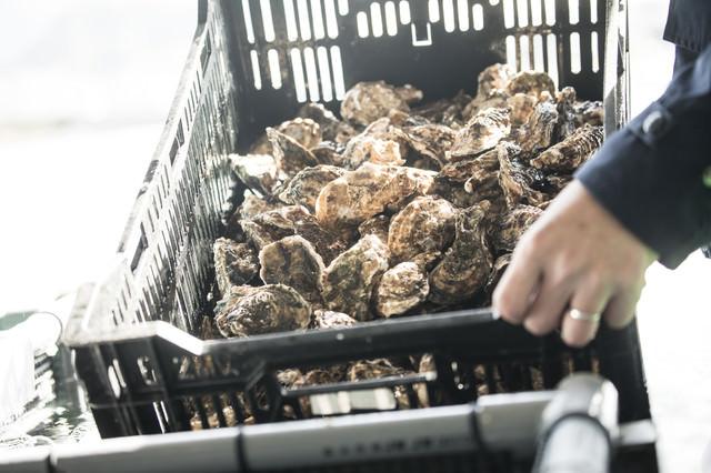 大村湾で獲れた牡蠣の写真