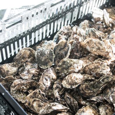 大村湾漁協組合で販売している獲れたての牡蠣の写真