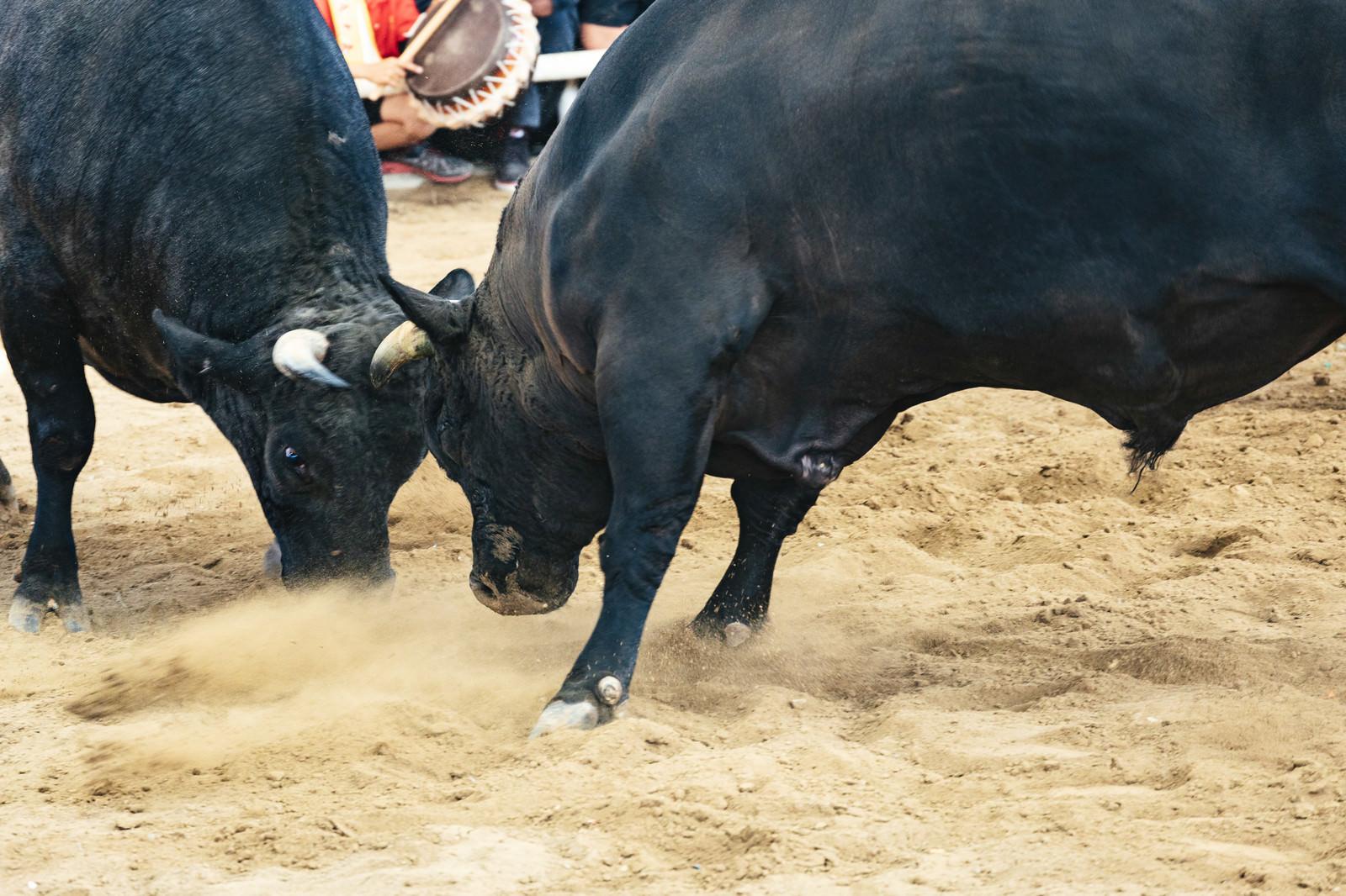 「徳之島なくさみ館で開催される闘牛の様子」の写真