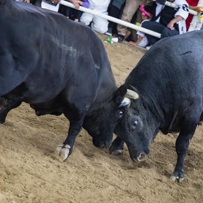 二頭の牛がぶつかりあう(闘牛の様子)の写真