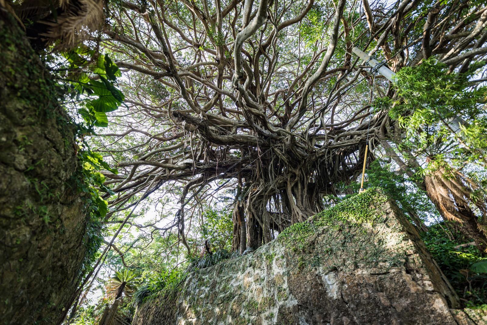 「樹齢300年のガジュマルと石垣樹齢300年のガジュマルと石垣」のフリー写真素材を拡大