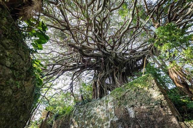 樹齢300年のガジュマルと石垣の写真