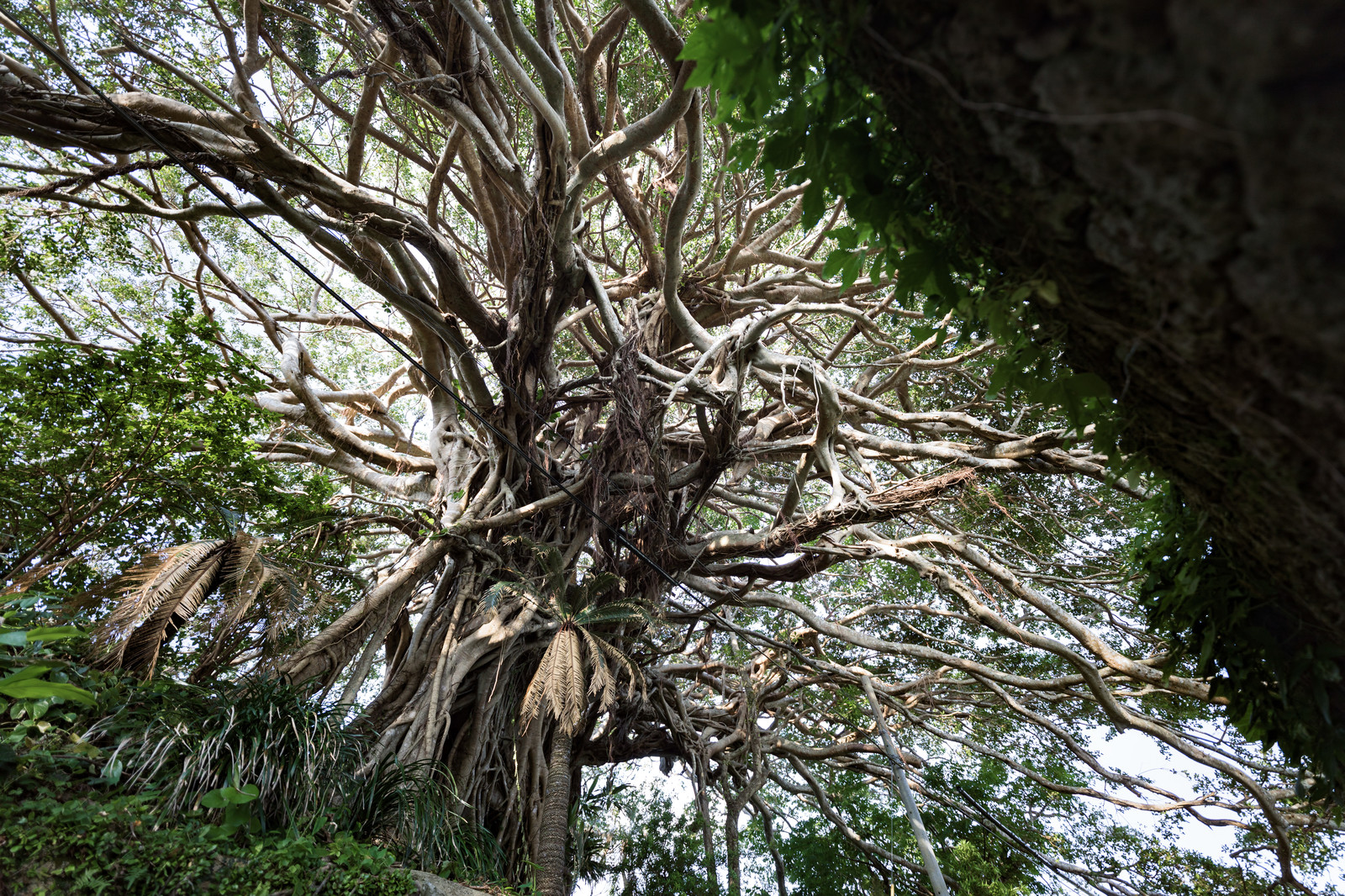 「徳之島のガジュマルの巨木(樹齢300年)」の写真
