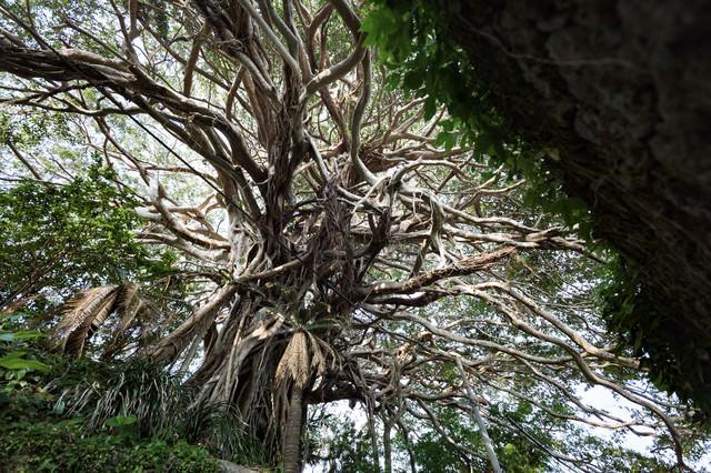 徳之島のガジュマルの巨木(樹齢300年)の写真