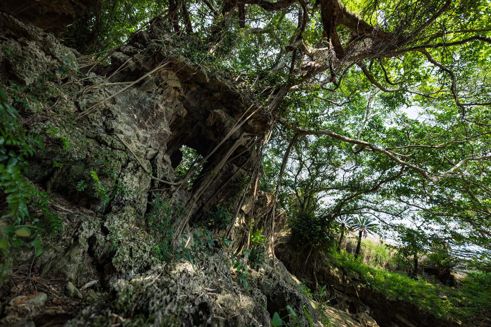 「湾屋洞窟(ウンブキ)のガジュマル」の写真