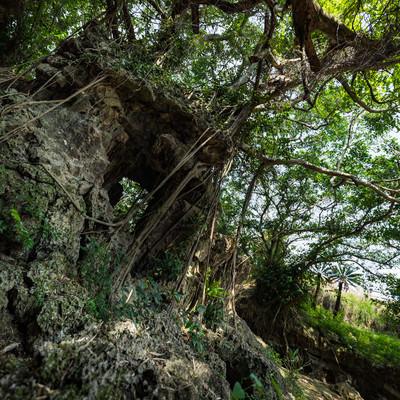 「湾屋洞窟(ウンブキ)のガジュマル」の写真素材