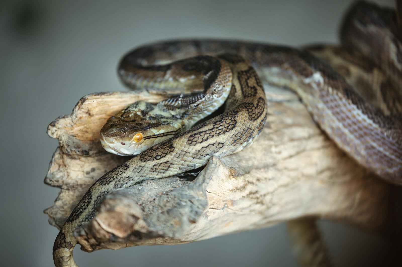 「徳之島で捕らえられたハブ」の写真