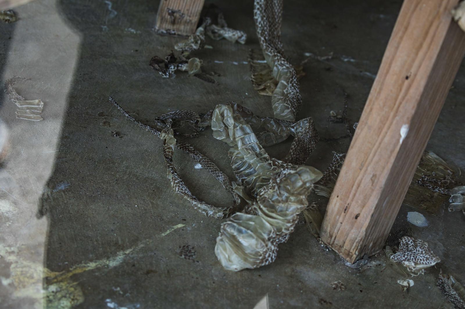 「ハブ(蛇)の脱皮後 ※閲覧注意」の写真