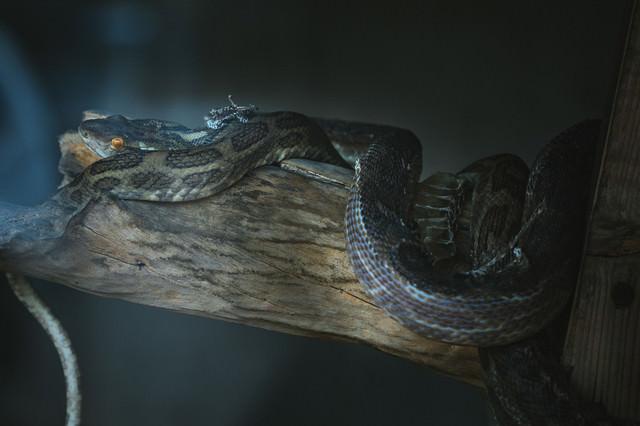 木に纏わりつく毒蛇(ハブ)の写真