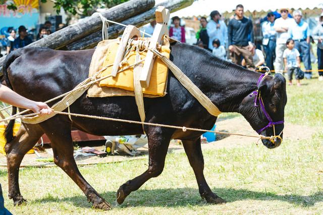 牛の手綱を引いてサトウキビを搾る「サタグンマ」の写真