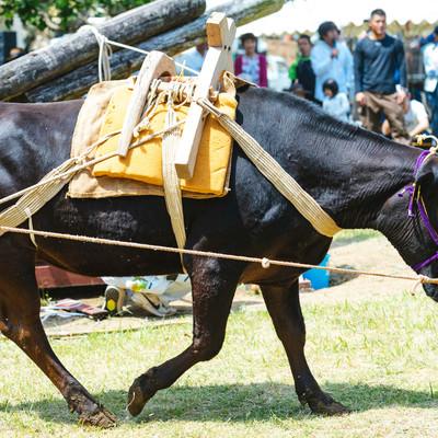 「牛の手綱を引いてサトウキビを搾る「サタグンマ」」の写真素材