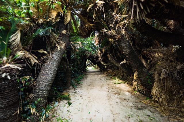巨大なソテツで囲まれた金見崎ソテツトンネル(徳之島)の写真