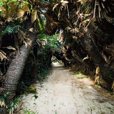 「巨大なソテツで囲まれた金見崎ソテツトンネル(徳之島)」の写真素材