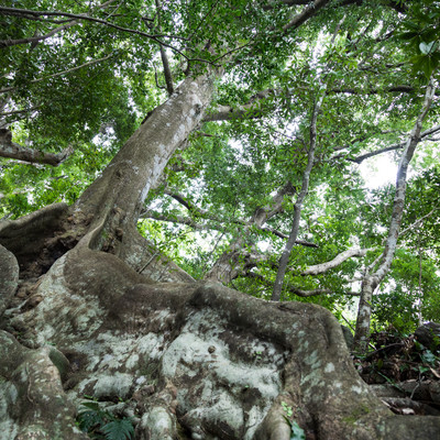 地表近くを横に根を張る巨木「オキナワウラジロガシ」の写真