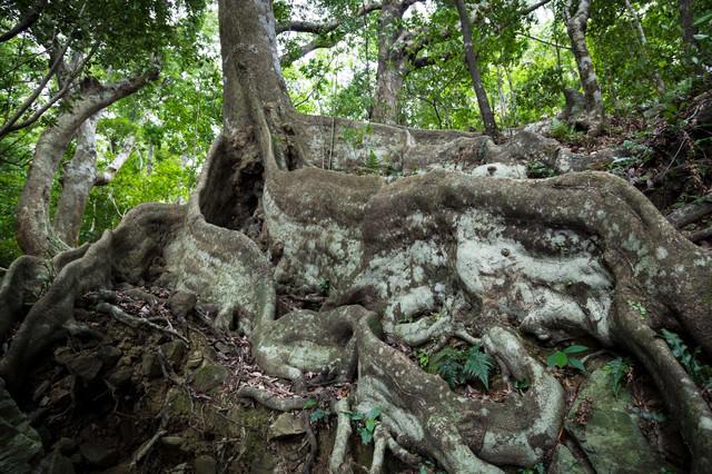 分厚い根が特徴なオキナワウラジロガシ(徳之島)の写真