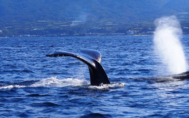 ホエールウォッチング(徳之島の海)の写真