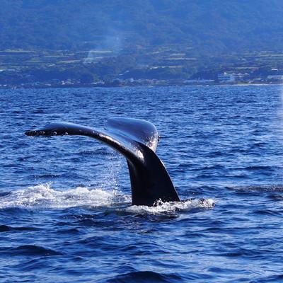 「ホエールウォッチング(徳之島の海)」の写真素材