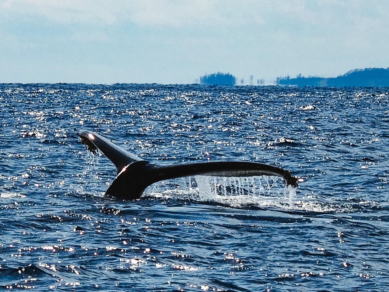 「ザトウクジラの尾びれ(徳之島)」の写真