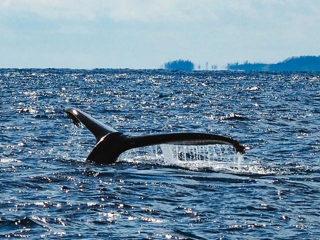 ザトウクジラの尾びれ(徳之島)の写真