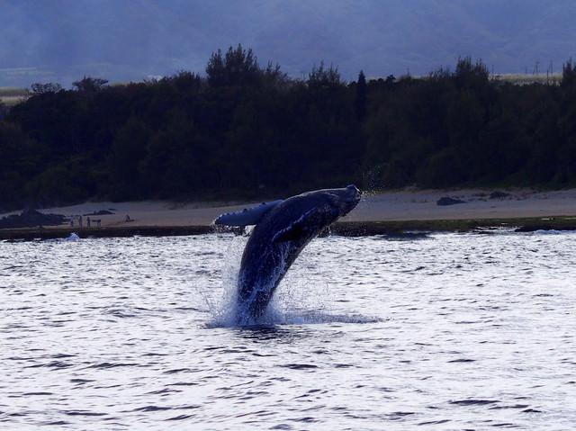 ザトウクジラのジャンプ(徳之島)の写真