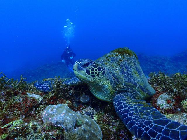 海中を泳ぐ大きなウミガメの写真