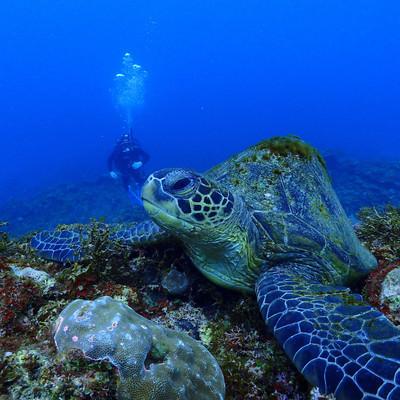 「海中を泳ぐ大きなウミガメ」の写真素材